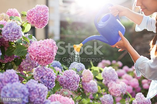 Gardening in bushes of hydrangea. Woman gardener waters flowers with watering can. Girl is looking after the garden. Flowers are pink, blue and blooming in countryside by house.