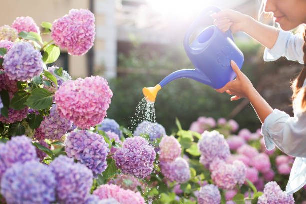 Gardening in bushes of hydrangea. Woman gardener waters flowers with watering can. Girl is looking after the garden. Flowers are pink, blue and blooming in countryside by house. stock photo