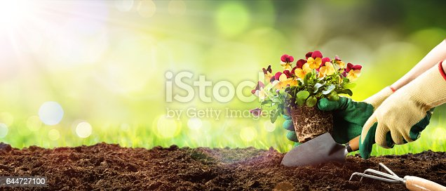 Planting A Flower Pansy With Shovel In Dirt