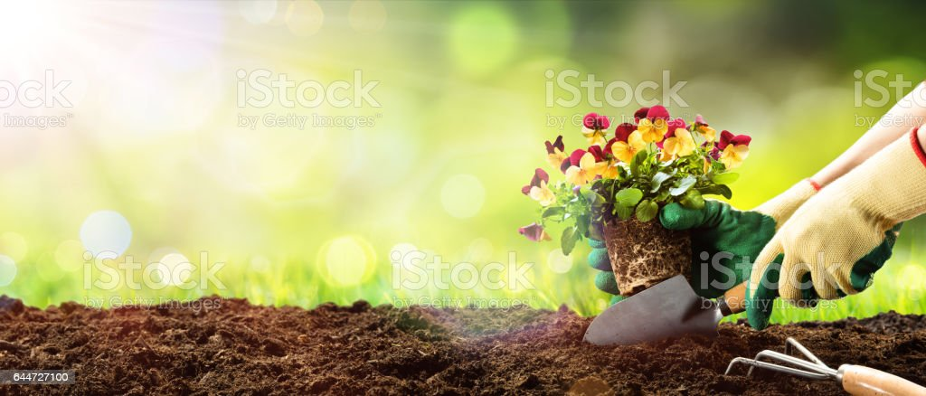 Gardening - Planting A Pansy In Garden stock photo