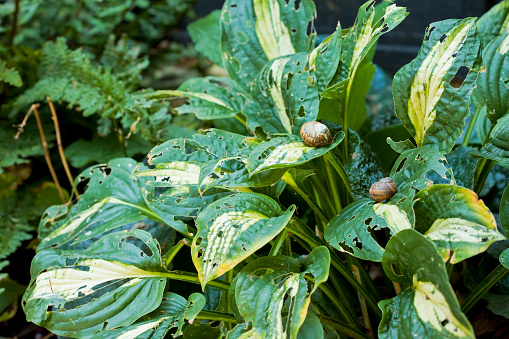 gardening problems with snails at lunch on hostas