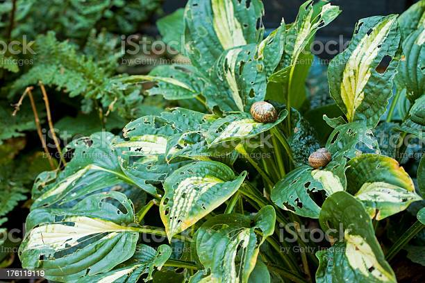 Photo of gardening problems with snails at lunch on hostas