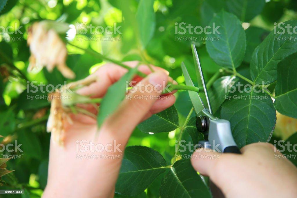 Gardening pruning the roses stock photo