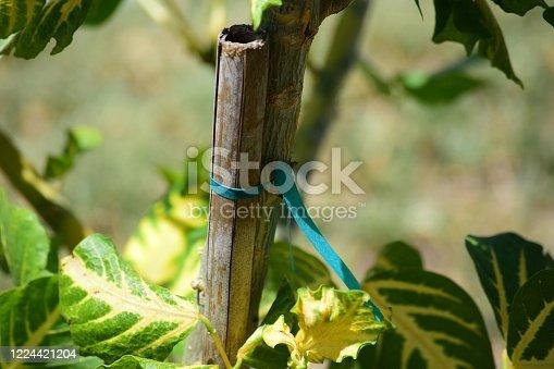 Gardening: tethered branch