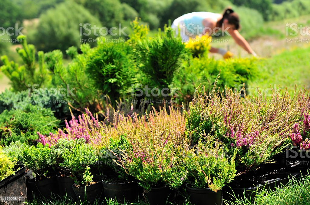 Gardening Time, heathers in foreground, woman planted seedlings in background stock photo