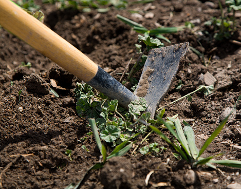 A close up of a garden tool in the process of digging weeds from top soil.  The handle and the head is visible.  Focus is on the head with a shallow depth of field.  Remnants of grass and weeds surrounds the tool.