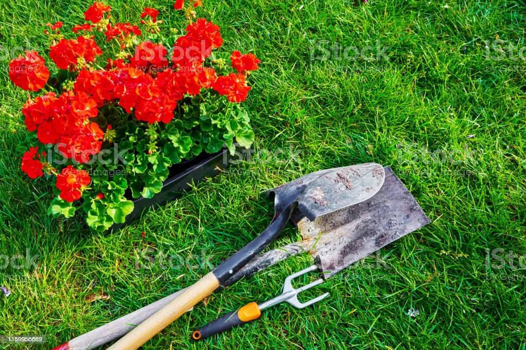 Gardening tools and geranium flowers in the box for planting on the...