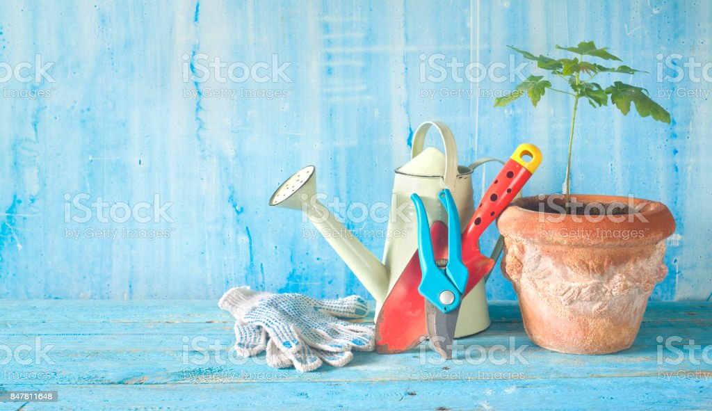 Gardening tools and young maple tree. stock photo