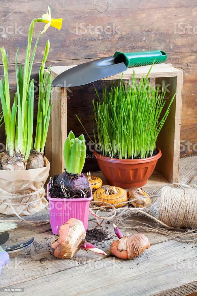 Gardening tools, greens in pots on dark wooden table royalty-free stock photo
