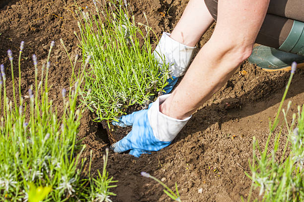 gardening with gloves and boots in the lavender garden stock photo