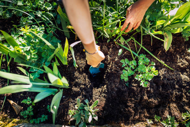 Gardening young plant into bed stock photo