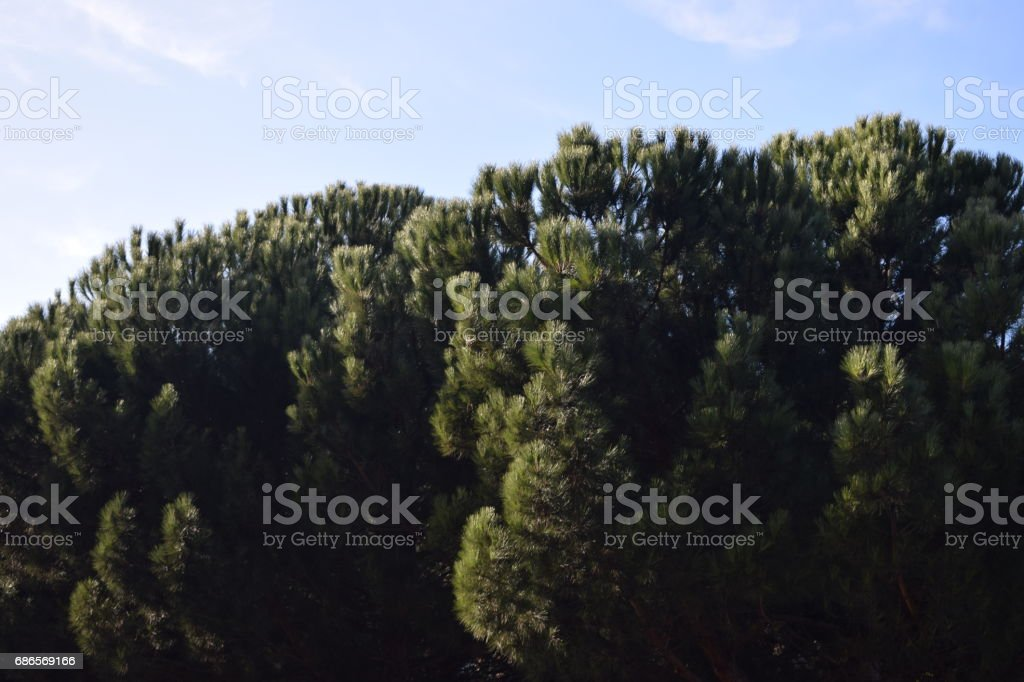 Gardens with pines. royalty-free stock photo