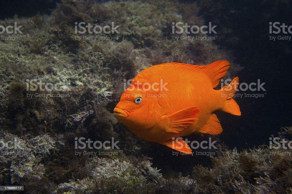 Garibald in Ocean Southern California stock photo