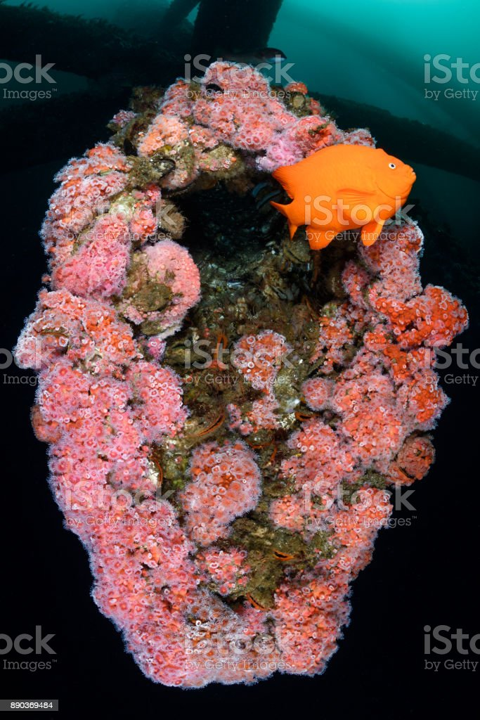 Garibaldi and Anemones stock photo
