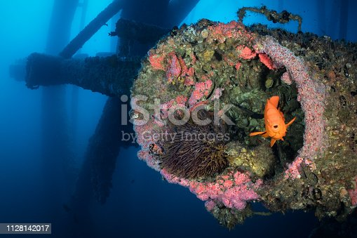 A garibaldi seeks shelter within the structure of an oil platform off the coast of Long Beach, California.