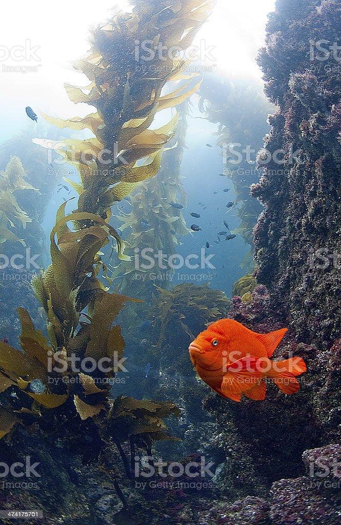 Garibaldi in Kelp Forrest stock photo