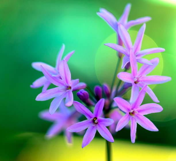 Garlic Blooms stock photo