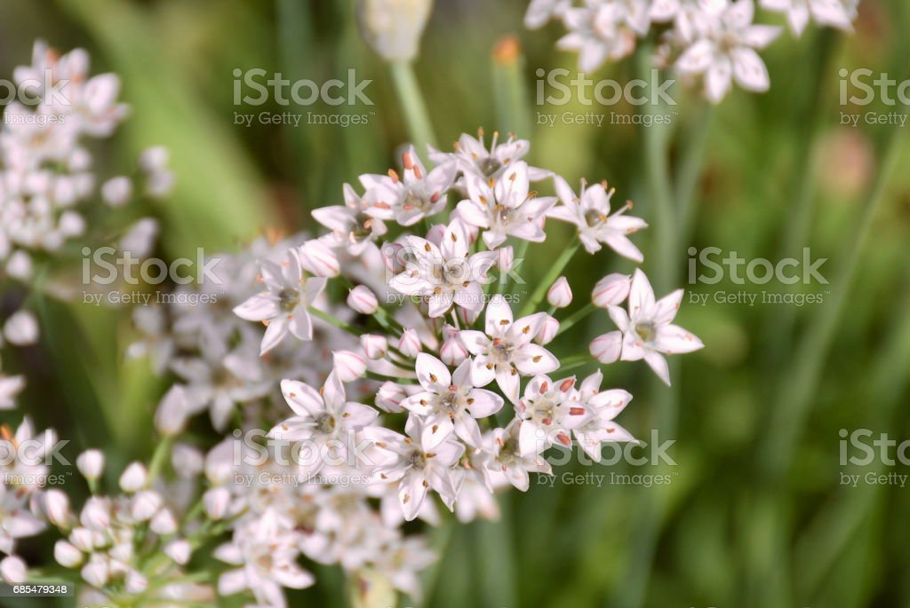 Garlic Chives in Flower stock photo