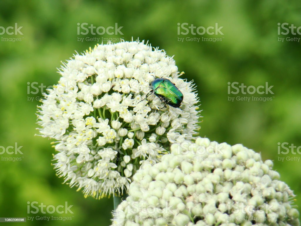Garlic flowers. Cockchafer sits on white garlic flowers. A photo. stock photo