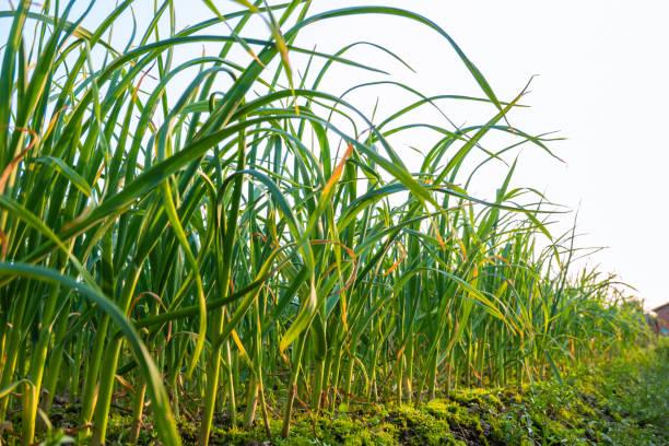 garlic harvest in agriculture field under sunshine stock photo