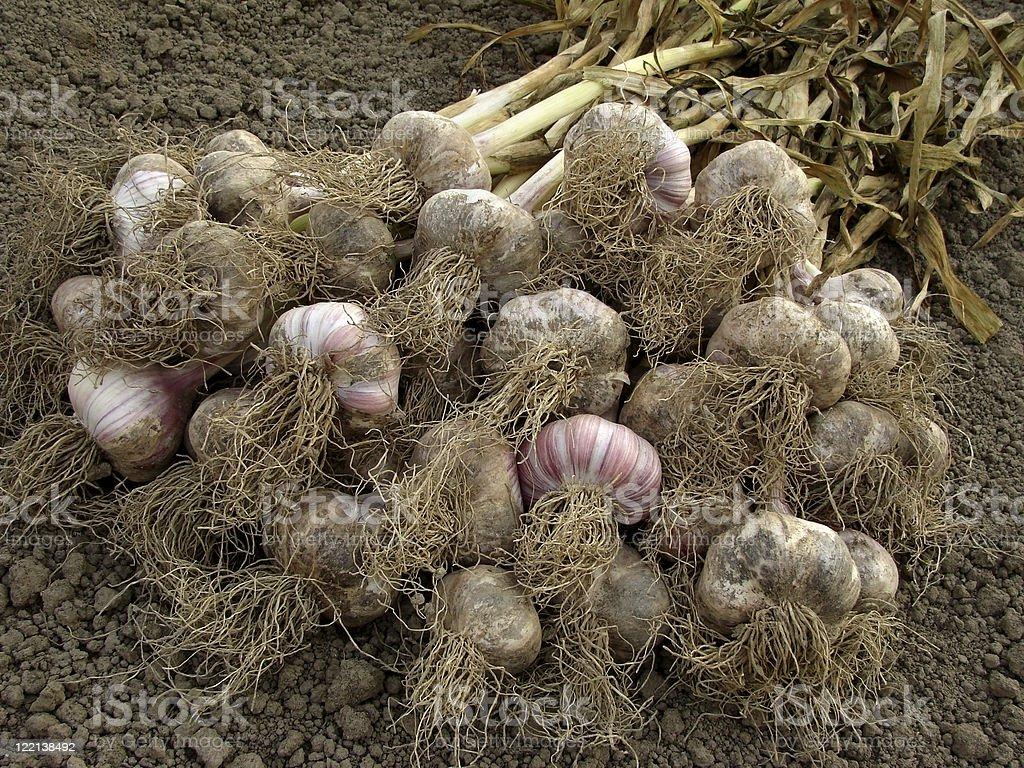 garlic harvest royalty-free stock photo
