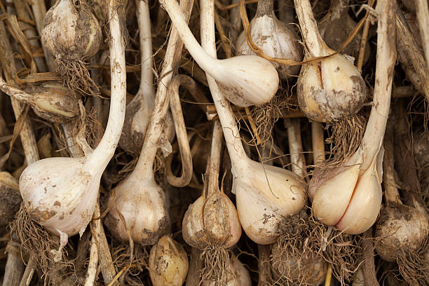 Garlic Just Pulled From the Ground stock photo