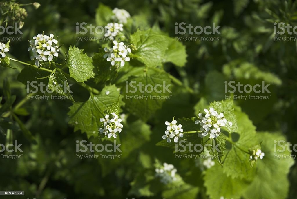 Garlic mustard stock photo