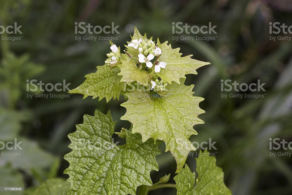 Garlic Mustard, stock photo