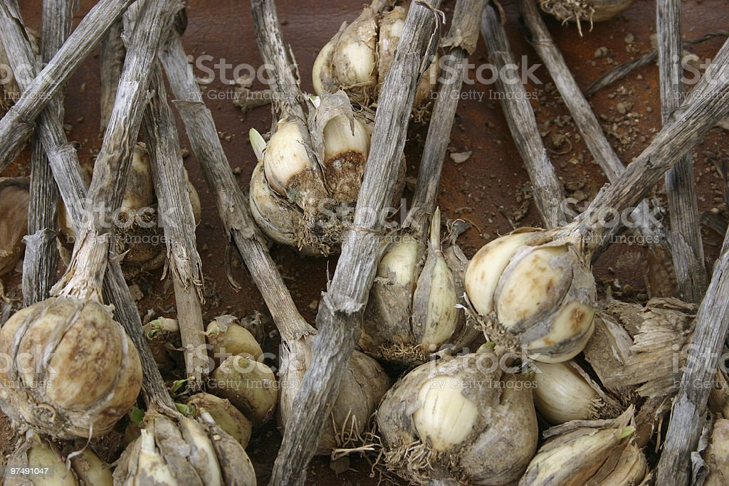 Garlic royalty-free stock photo