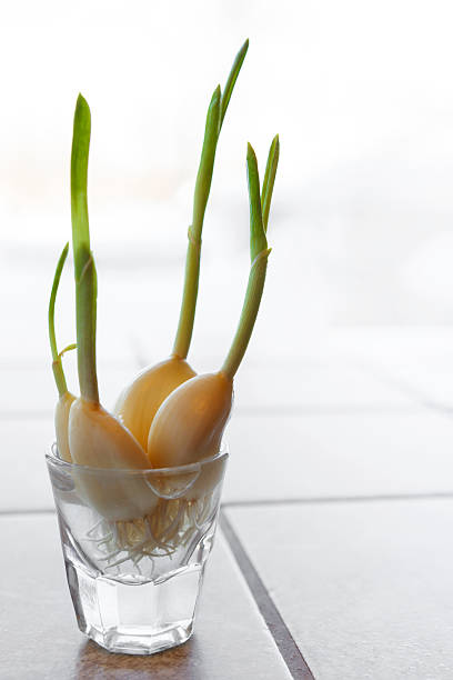 Knoblauch Sprouts – Foto