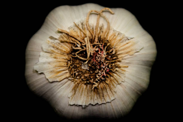 Garlic-Bulb-Roots-on-black-closeup – Foto