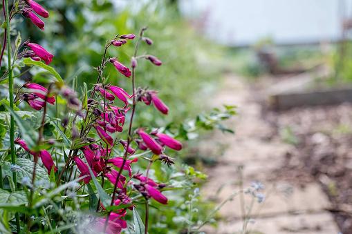 Garnet Penstemon Flowers Growing By Garden Path