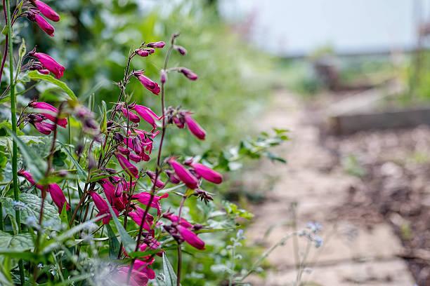 Garnet Penstemon Flowers Growing By Garden Path stock photo
