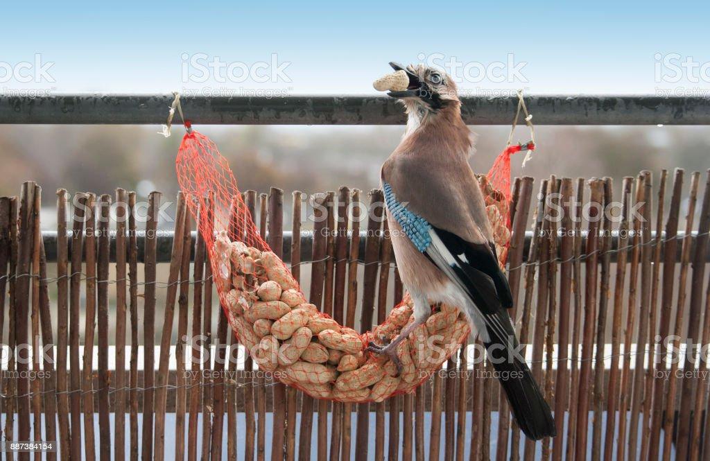 Garrulus glandarius, Eurasian Jay eating shell peanuts stock photo