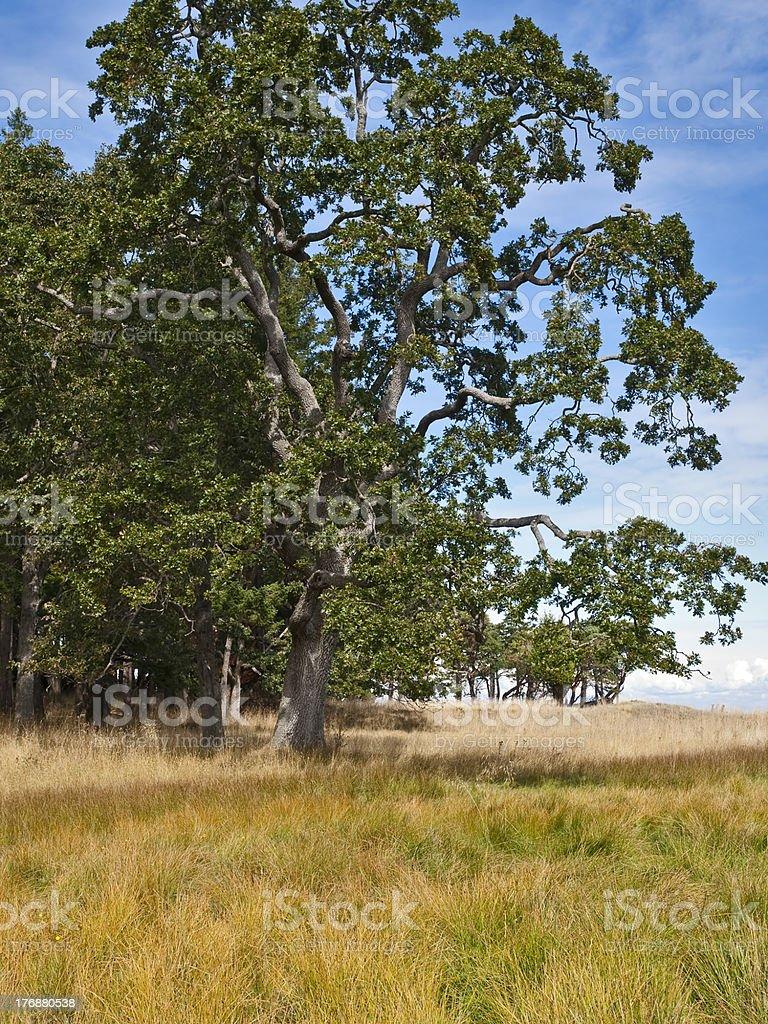 Garry Oak Tree stock photo