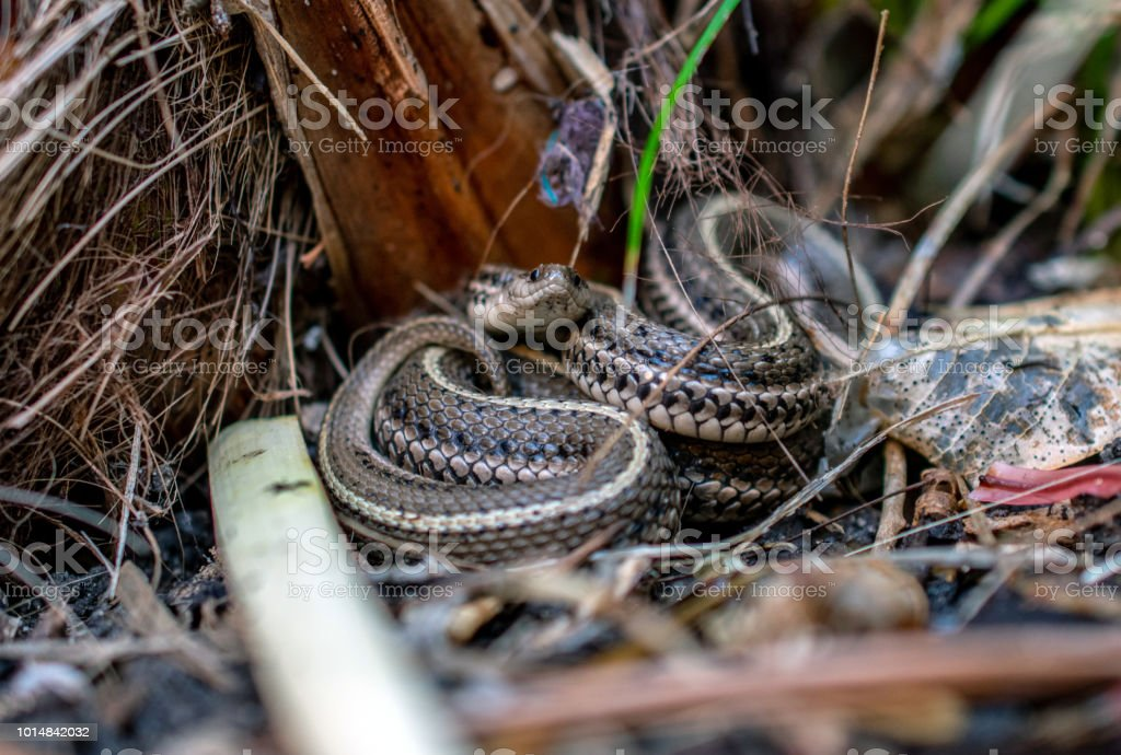 garter snake facing camera stock photo