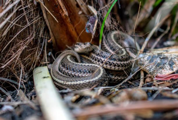 garter snake facing camera stock photo