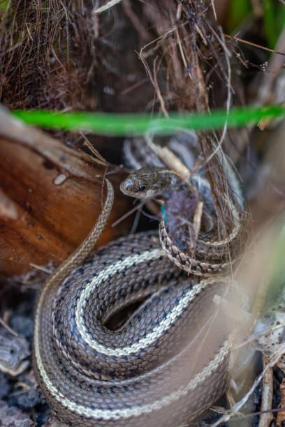 garter snake in garden stock photo