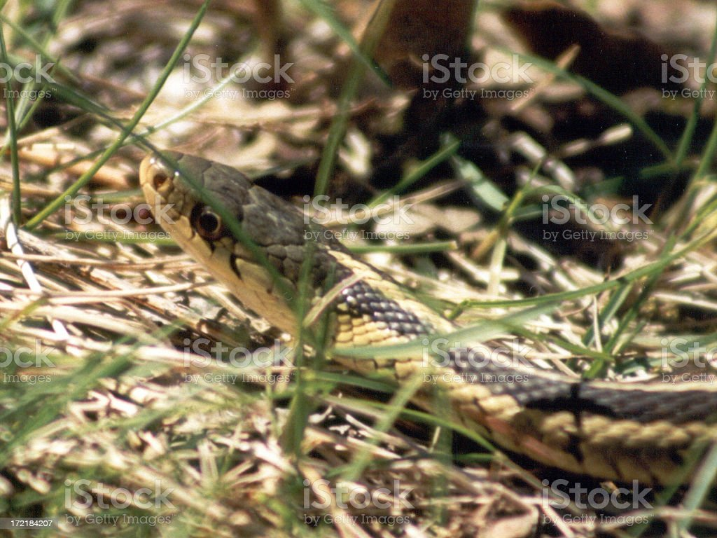Garter snake in the grass royalty-free stock photo