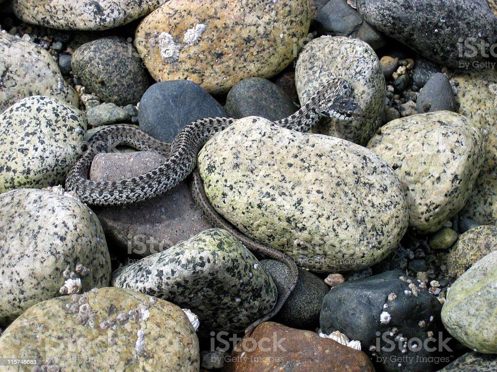 Garter Snake in the rocks royalty-free stock photo