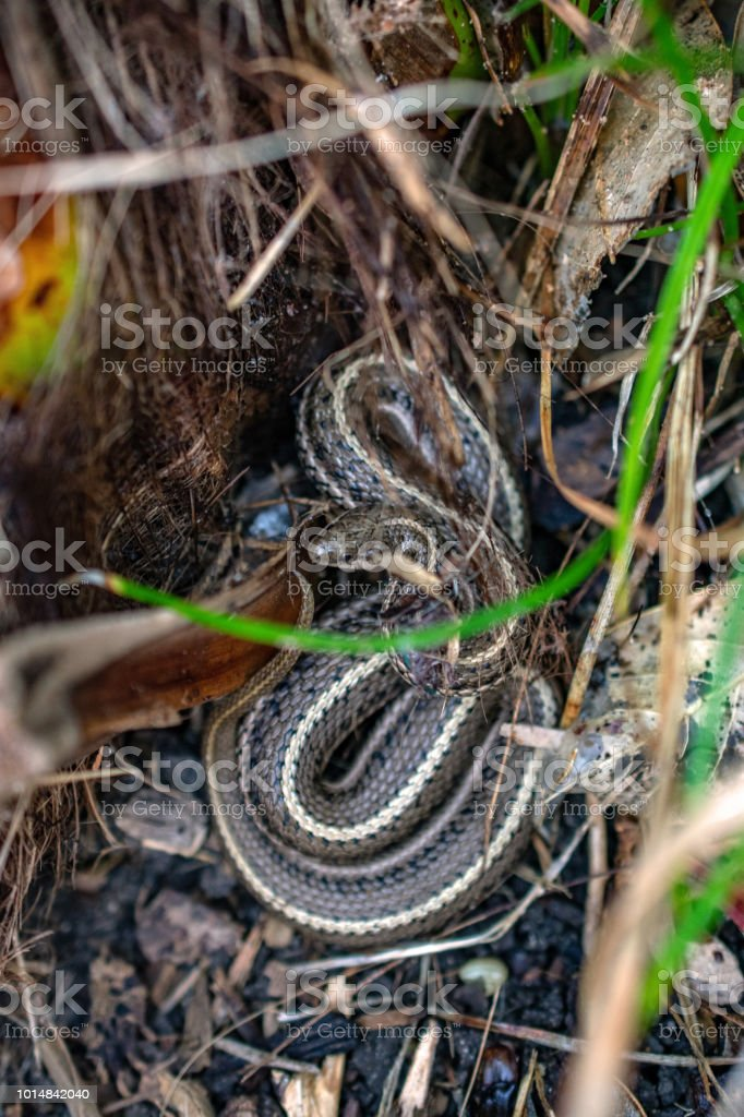 garter snake in yard from above stock photo