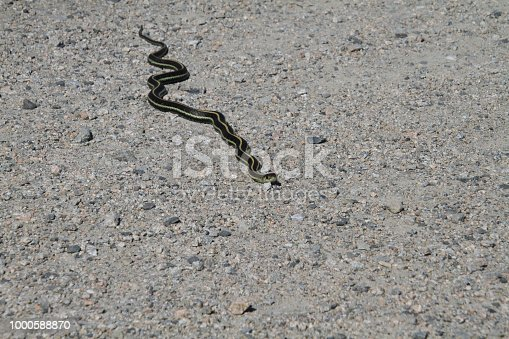 A garter snake on a fine gravel trail in the sun.  It's head is facing the camera and there is almost no shadow