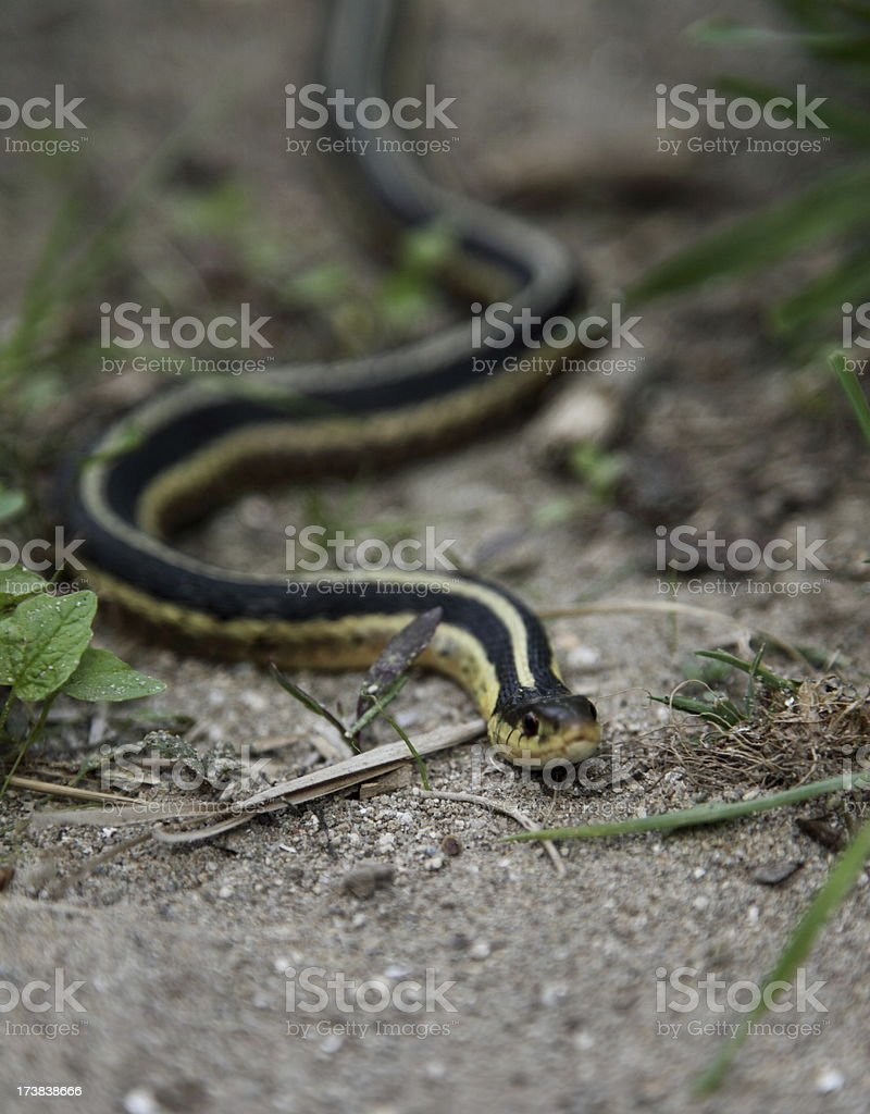 Garter Snake royalty-free stock photo