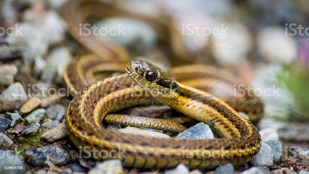 Garter Snake Smiling at the Camera stock photo