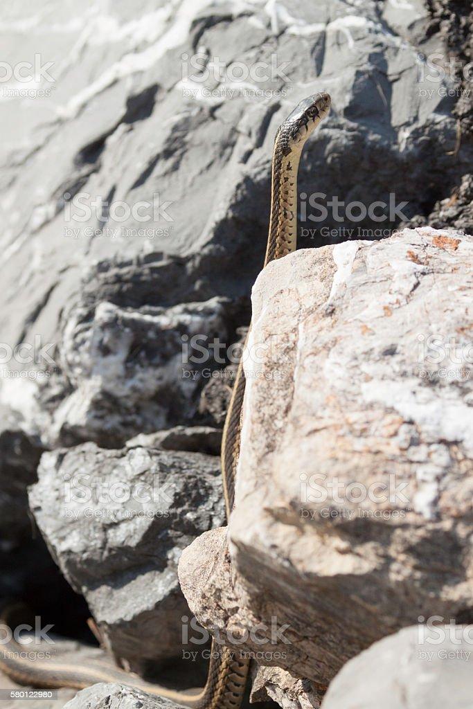 Garter Snake Standing Tall stock photo