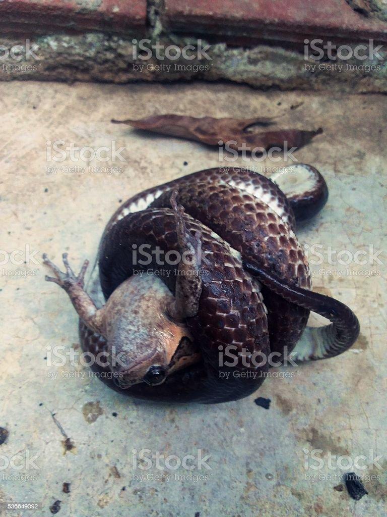 Garter snakes are prey bullfrog stock photo