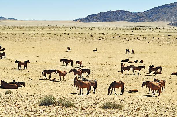 Garub wild horses in Namibia Wild horses living  in the Namib Desert between Aus and Lüderitz. namib desert stock pictures, royalty-free photos & images