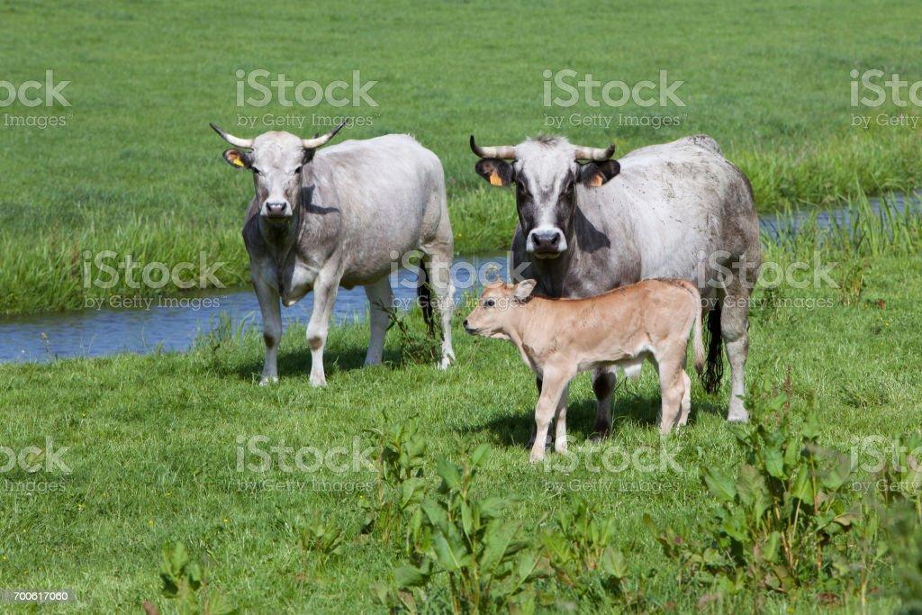 Fotografía de Gasconne Vacas Y Terneros En Prado Verde Holandesa ...