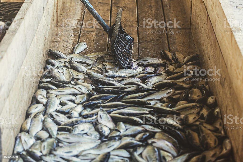 Gaspereau Harvest royalty-free stock photo