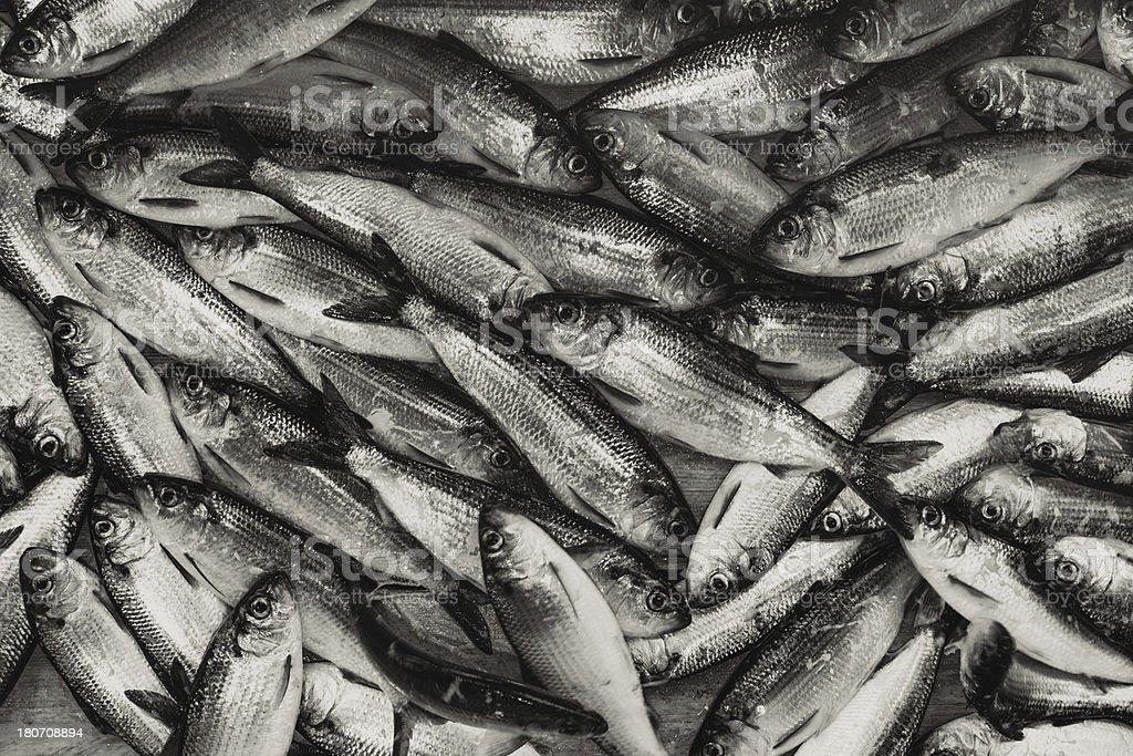 Gaspereau royalty-free stock photo